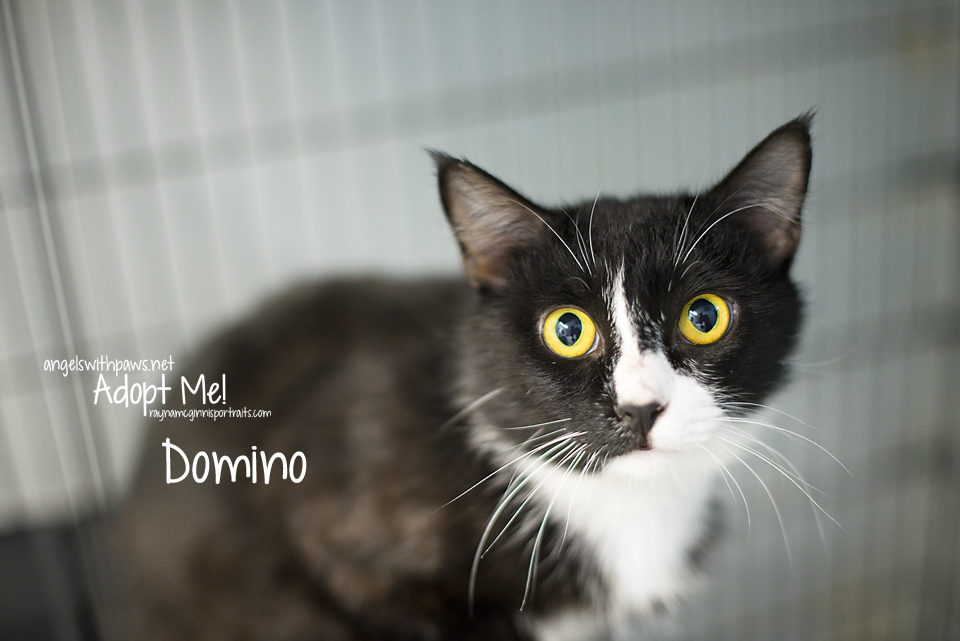 Domino - Angels with Paws