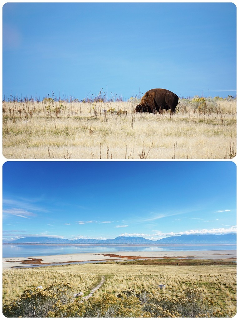 Bison at Antelope Island State Park - SLC Photographer