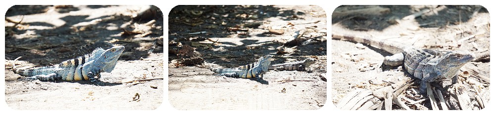 Lizards at the beach in Costa Rica.