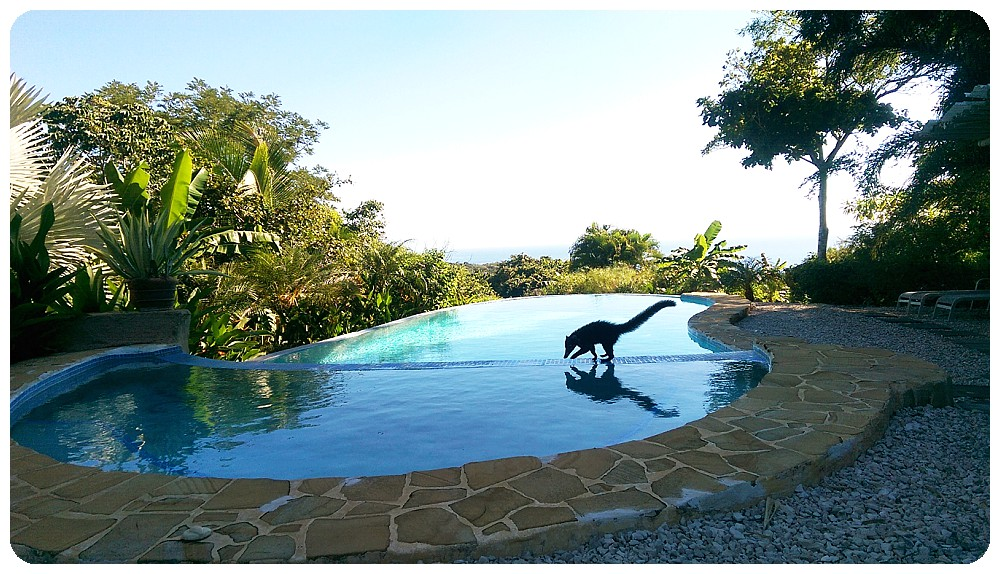 Coati at a swimming pool in Montezuma