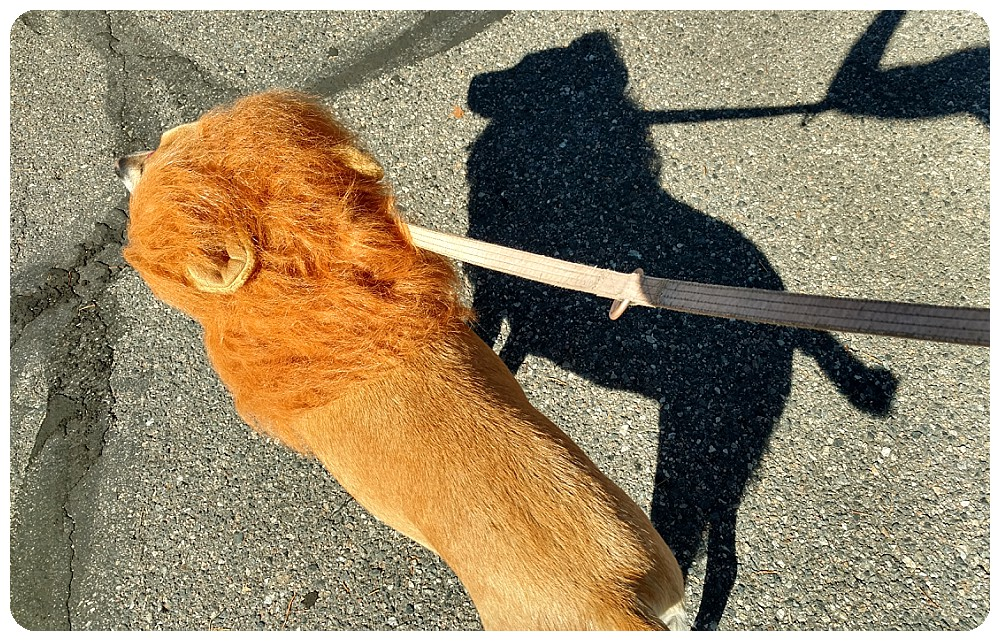 Dog dressed as a lion with a lion shadow
