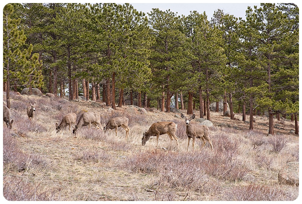 Herd of deer hanging out in Rocky Mountain National Park.