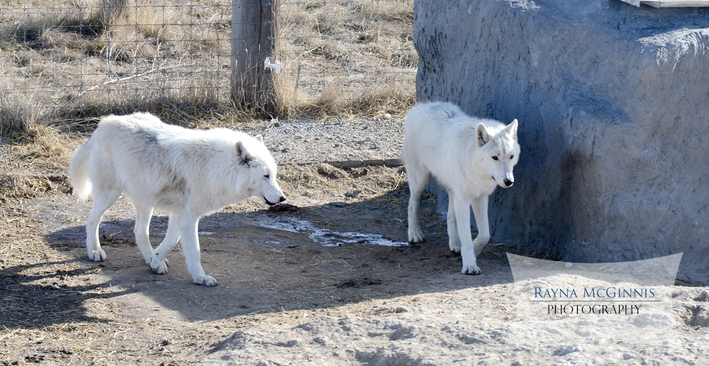 Wolves hanging out at wild animal sanctuary