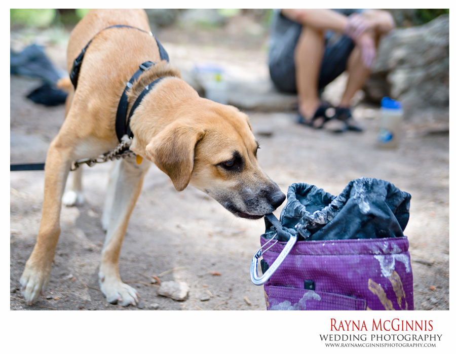 Ridgeback hound mix chewing on a chalk bag