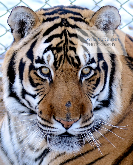 Beautiful tiger face at the Wild Animal Sanctuary in Colorado