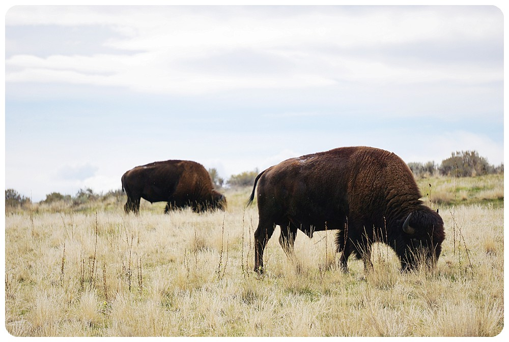 Bison by the road at Antelope Island.