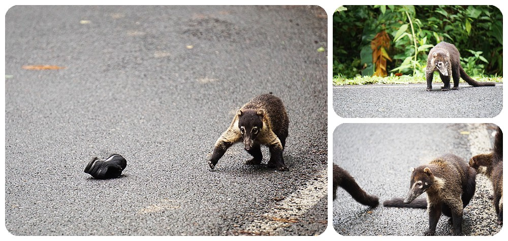 Coati's playing on the road in Costa Rica