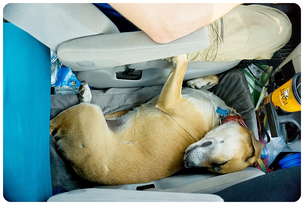 Dog sleeping in Toyota Sienna on road trip