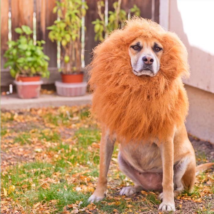 Savannah Dog Dressed As A Lion!