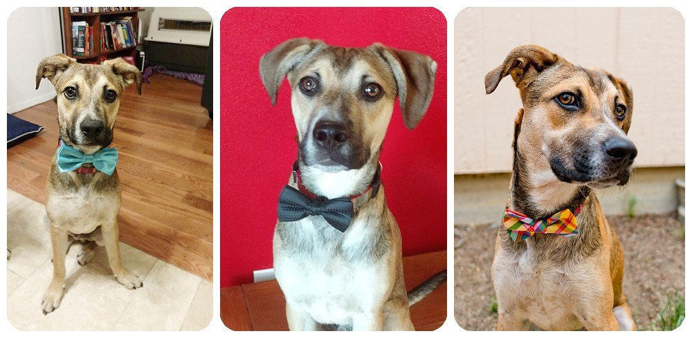 black mouth cur wearing a bow tie