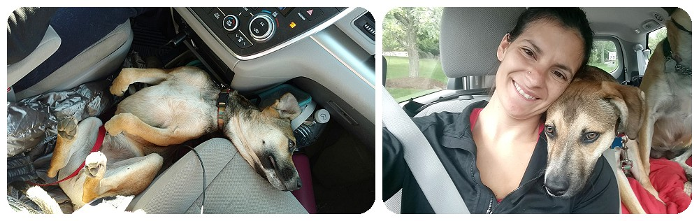 stitch riding in the car with Denver Dog phtographer, rayna mcginnis