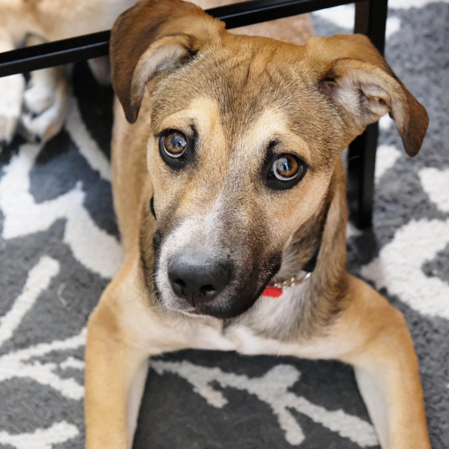 denver dog photography - stitch the black mouth cur