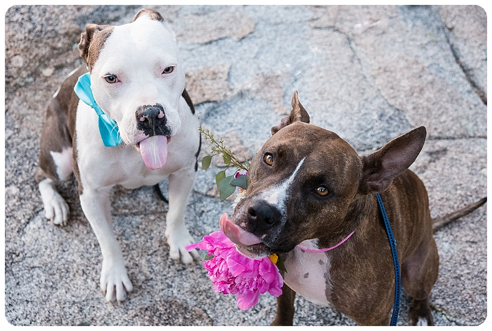 Pitbull Dog Elopement
